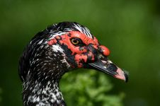 Free Duck Stock Photo - 4977130