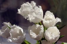 Free White Tulips Royalty Free Stock Photography - 4978517