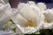 Free White Tulips Stock Images - 4978554