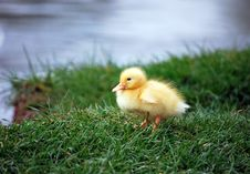 Free Duckling Royalty Free Stock Image - 4979616