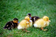 Free Duckling Royalty Free Stock Image - 4979626