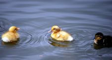 Free Duckling Royalty Free Stock Photography - 4979637