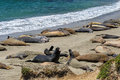 Free Sea Lions On The Beach, California Stock Photo - 49729360