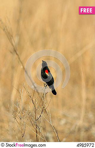 Free Red-winged Blackbird Stock Photography - 4985972