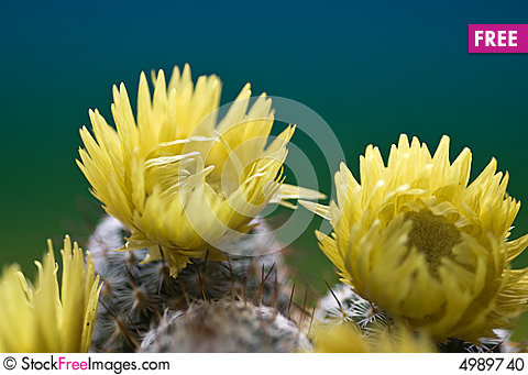 Cactus with yellow flowers free stock images photos 4989740 cactus with yellow flowers mightylinksfo Images