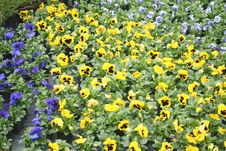 Blue And Yellow Pansies Stock Photography