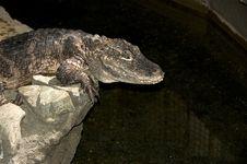 Free Alligator Face Stock Photos - 4980663