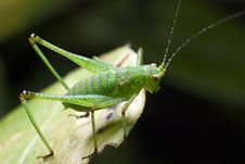 Free Green Grasshopper On A Leaf Stock Photo - 4981160