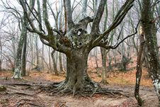 Free Old Tree. Royalty Free Stock Images - 4981619