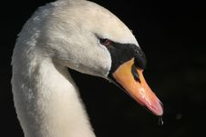 Free Mute Swan Close Up Royalty Free Stock Images - 4982099