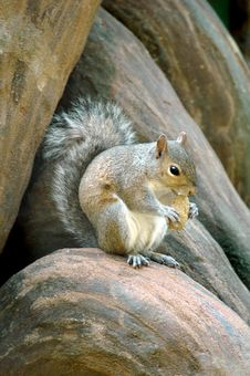 Free Squirrel Eating Nut Royalty Free Stock Photo - 4982915