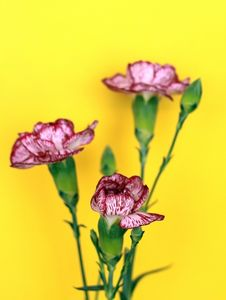 Free Carnation Stock Photography - 4983162