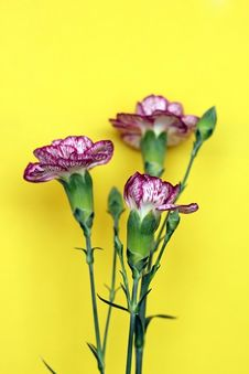 Free Carnation Royalty Free Stock Images - 4983169