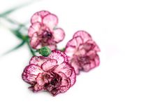 Free Carnation Royalty Free Stock Images - 4983609