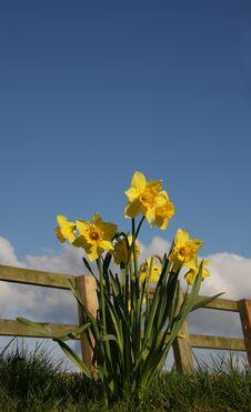 Free Daffodils Royalty Free Stock Photo - 4984495