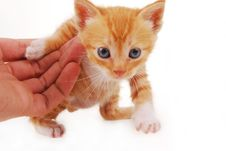Free Kitten On A White Background Royalty Free Stock Image - 4984506