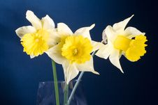 Free Bunch Of Yellow Spring Daffodils, Isolated On Blue Stock Photography - 4984582