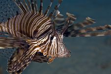 Free Common Lionfish (pterois Miles) Royalty Free Stock Photography - 4985197