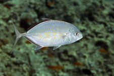 Free Yellow-dotted Trevally (carangoides Fulvoguttatus) Stock Image - 4985201