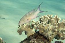 Lyretail Grouper (variola Louti) Royalty Free Stock Photo