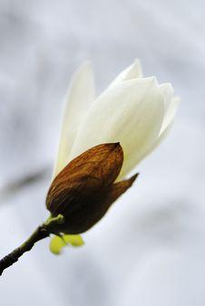 Free Magnolia Stock Photos - 4985373