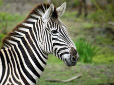 Free Zebra Royalty Free Stock Photography - 4986997