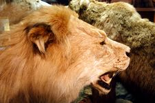 Free Lion Royalty Free Stock Images - 4987049