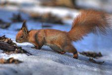Free A Squirrel Stock Photos - 4987103