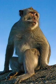 Bali Monkey Royalty Free Stock Image