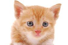 Free Kitten On A White Background Royalty Free Stock Photos - 4987938