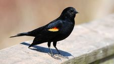 Free Red-winged Blackbird Royalty Free Stock Images - 4988029