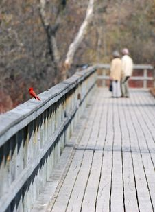 Free Northern Red Cardinal Stock Image - 4988041