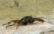 Free Maldivian Crab Royalty Free Stock Photo - 4989125