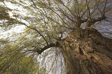 Free Willow Tree Stock Image - 4989181