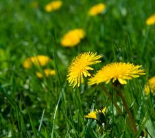 Yellow Dandelions In Grass Stock Image