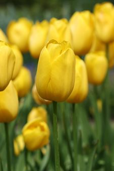 Free Yellow Tulips Royalty Free Stock Images - 4989759