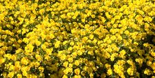 Field Of Yellow Pansies Stock Images