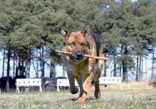 Free Germany Sheep-dog Stock Photography - 4990182