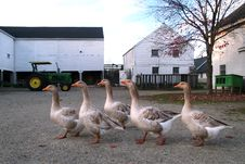 Free Five Geese At The Farm Royalty Free Stock Image - 4990446