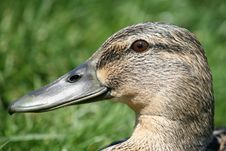 Free Duck`s Head Royalty Free Stock Photo - 4990475