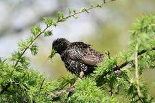 Free Starling Stock Photos - 4990483