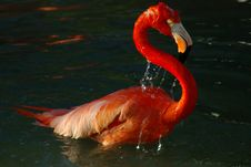 Free Pink Flamingo Bathing Stock Photo - 4991300