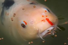 Free Colorful Koi Feeding With Wide Open Mouth Royalty Free Stock Image - 4992296