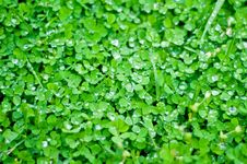 Vivid Bed Of Clover Stock Image