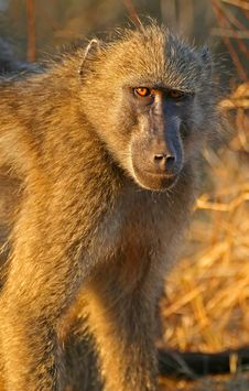 Baboon Stare Royalty Free Stock Photography