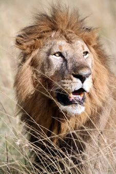 Majestic Lion Portrait In The Grass Royalty Free Stock Photography