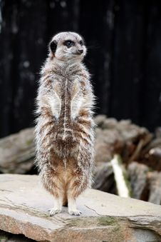 Free Meerkat Standing On The Lookout Stock Images - 4994374