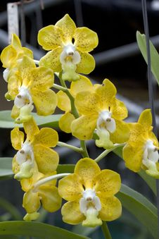 Free Orchids Stock Photography - 4994592