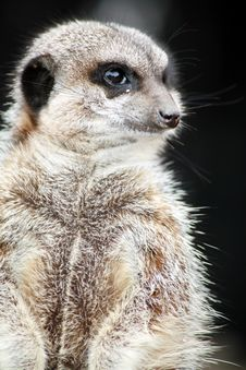 Free Inquisitive Meerkat Stock Photo - 4994670