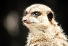 Free Inquisitive Meerkat Stock Photo - 4994700